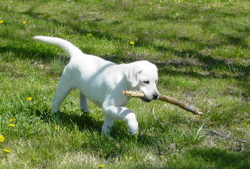 White Labrador Puppies For Sale | Bullis Lake Labradors