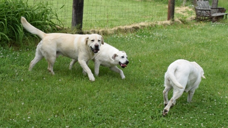 White Labrador Puppies For Sale | Bullis Lake Labradors